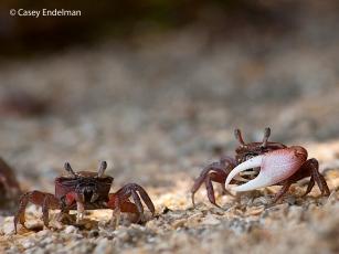 Tiny Crabs