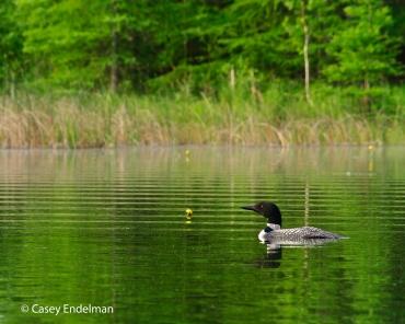 Avery Lake Loon