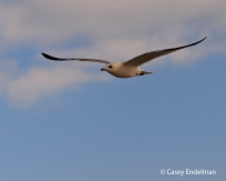 seagull_flight