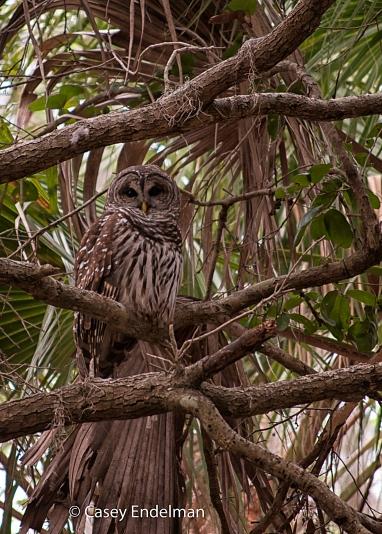 Barred_Owl