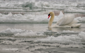 Swan in the Ice