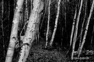 birchtrees_bw_copyright