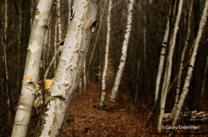 birchtrees_color_copyright