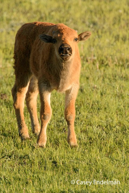 Baby Bison 2
