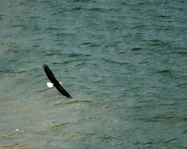 Log Slide Bald Eagle